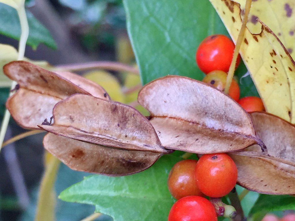 オニドコロの果実