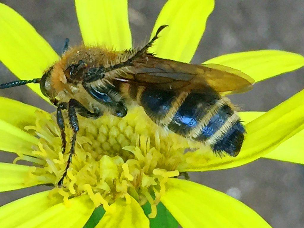ツワブキにヒメナガハラツチバチ