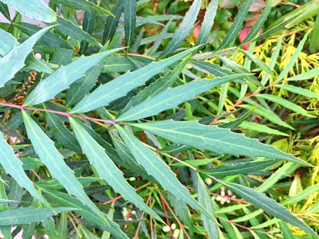 ホソバヒイラギナンテンの葉