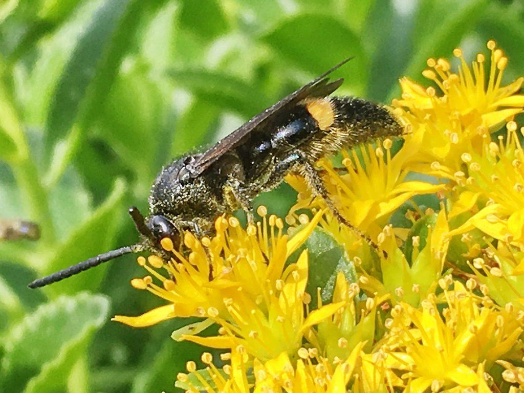 オオモンクロクモバチ