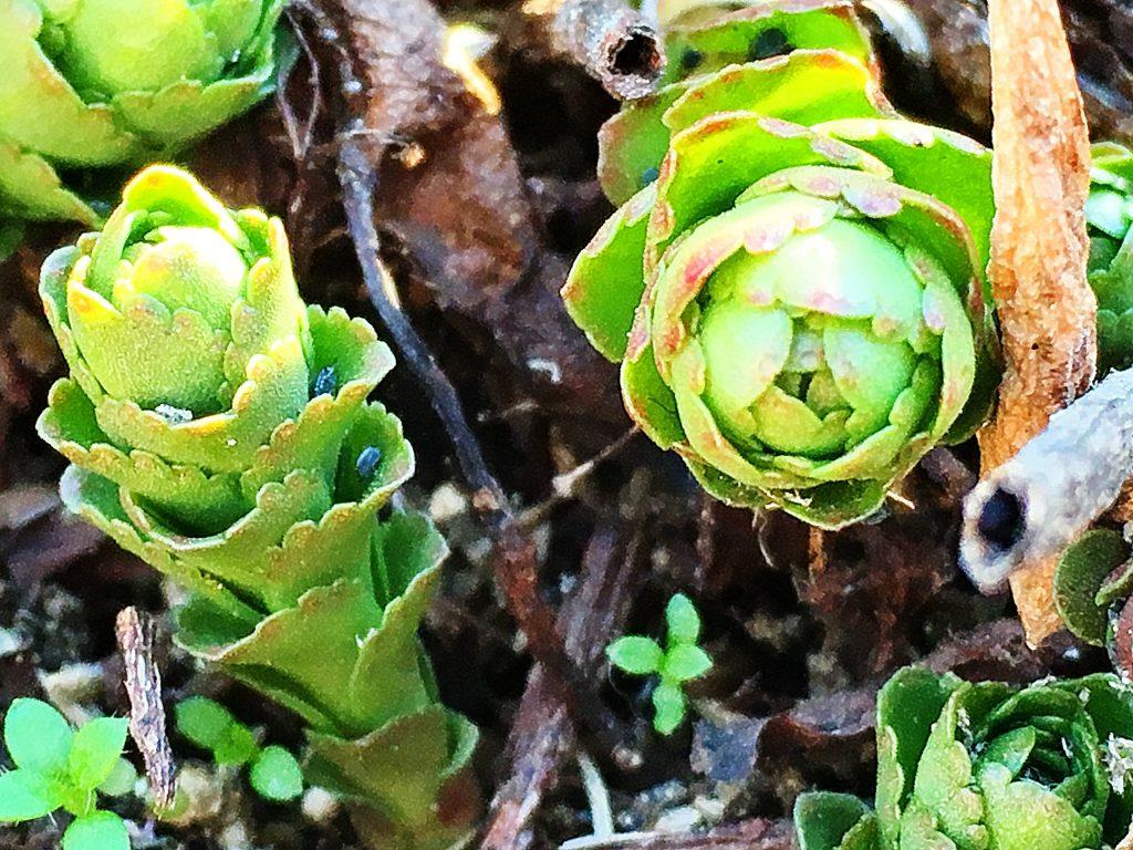 キリンソウの越冬芽