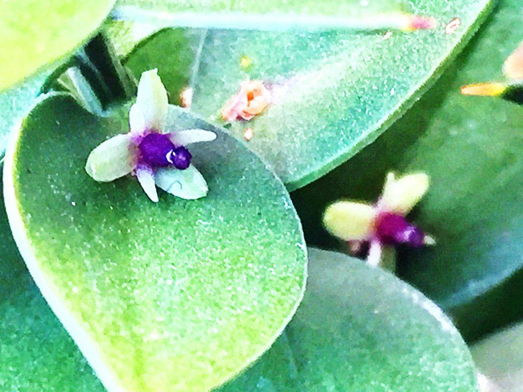 ナギイカダの雌花