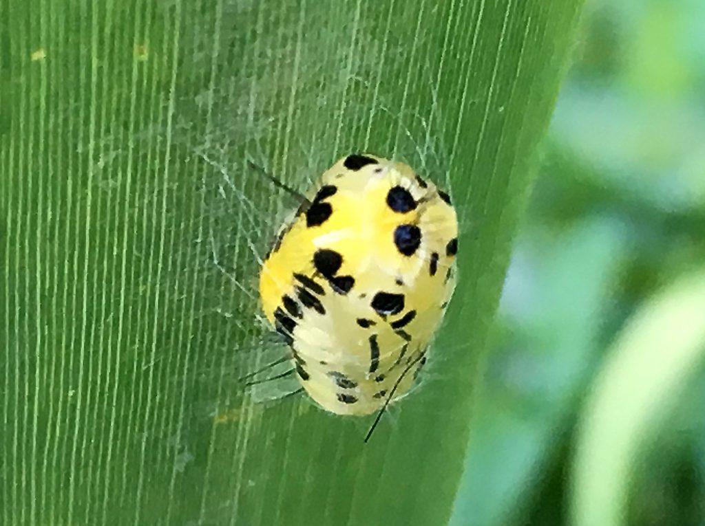 キアシドクガの蛹