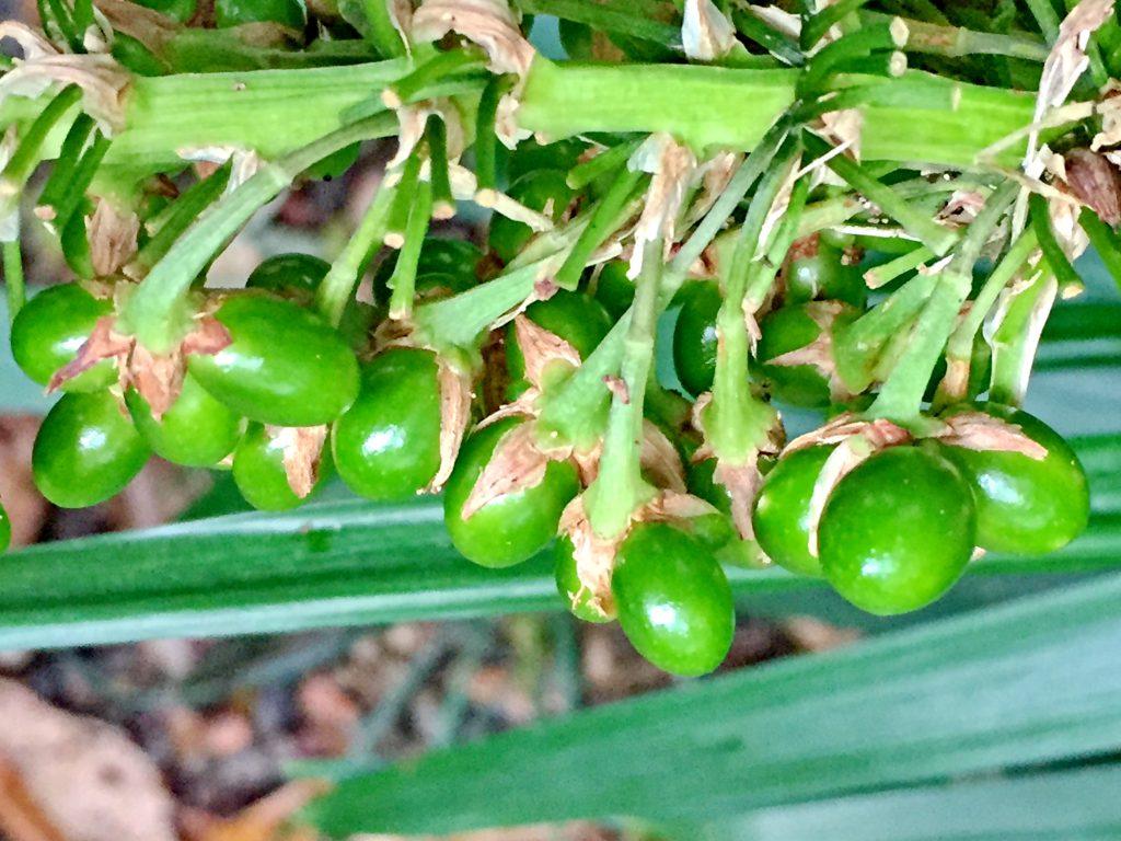 ノシランの種子