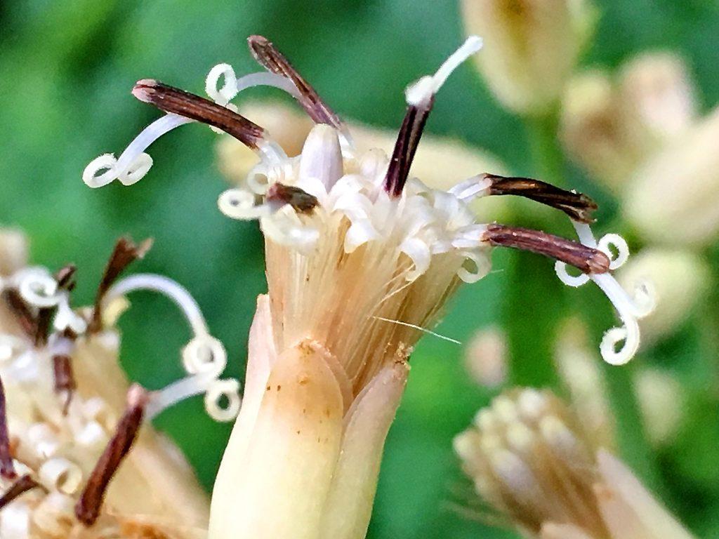 ヤブレガサの花