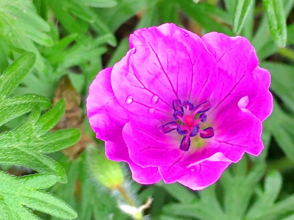 アケボノフウロの花