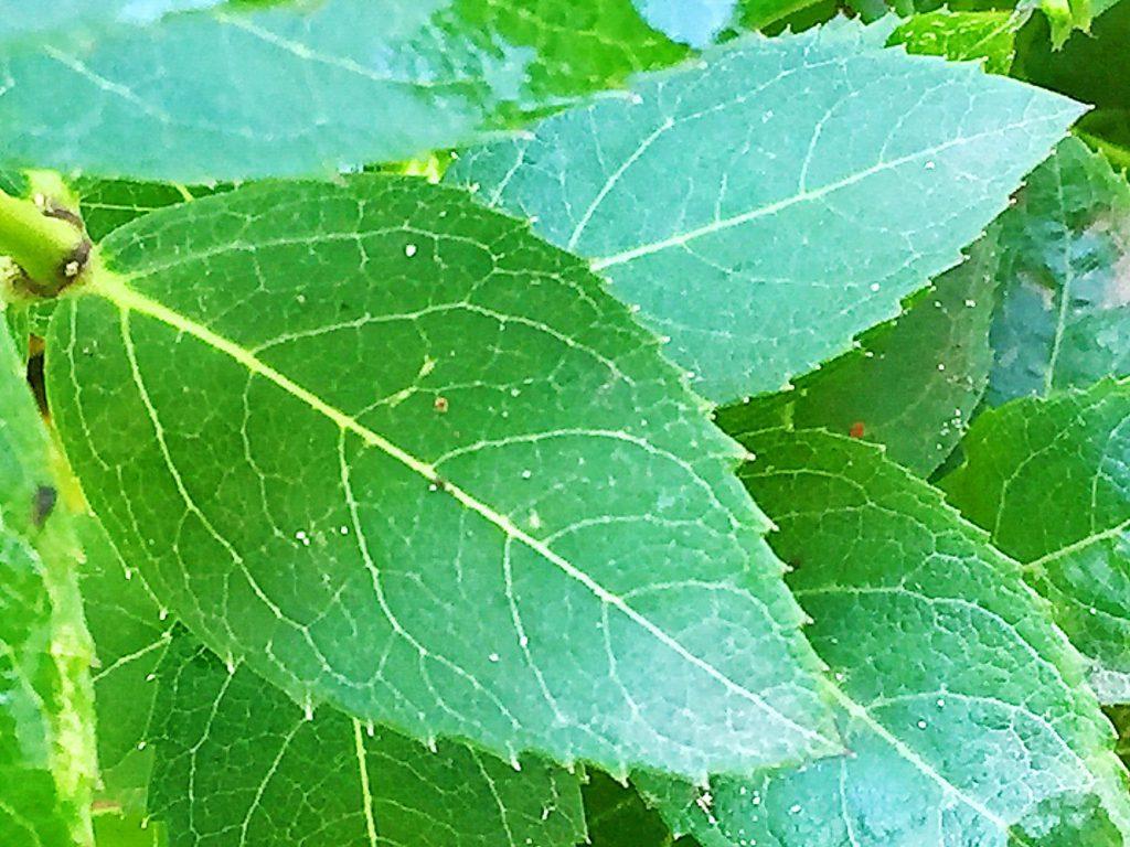 キキョウの葉