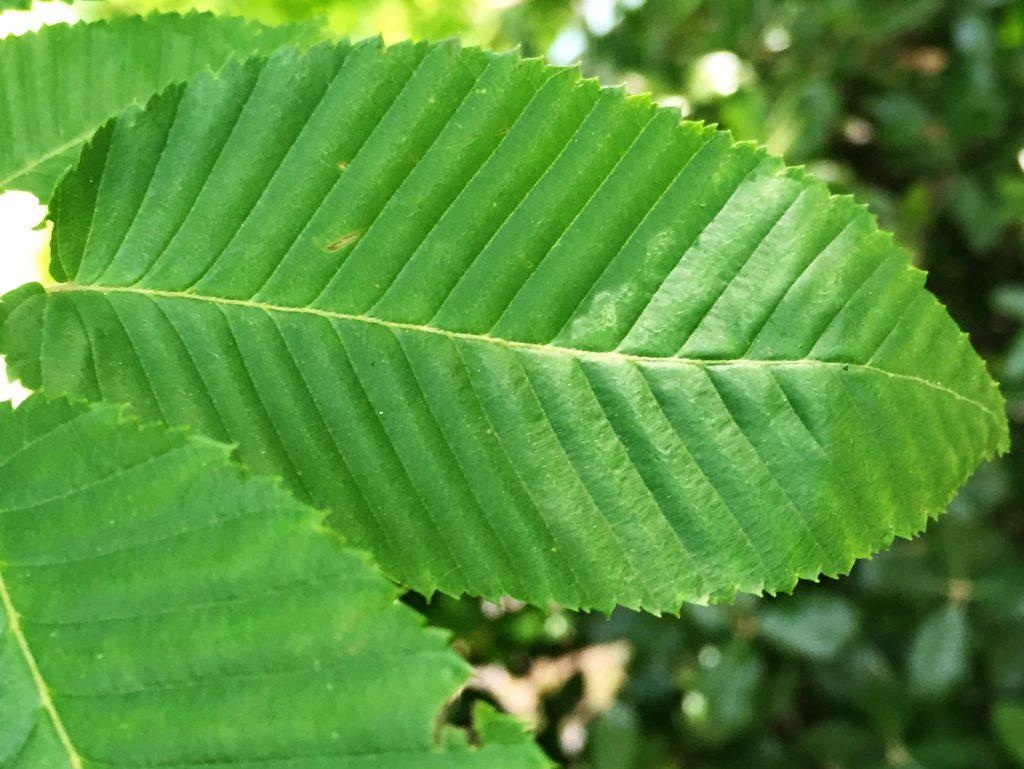 クマシデの葉