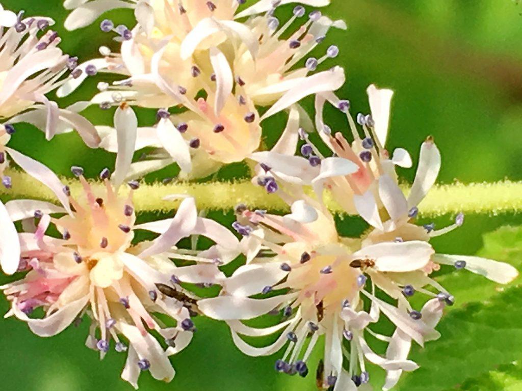 チダケサシの花