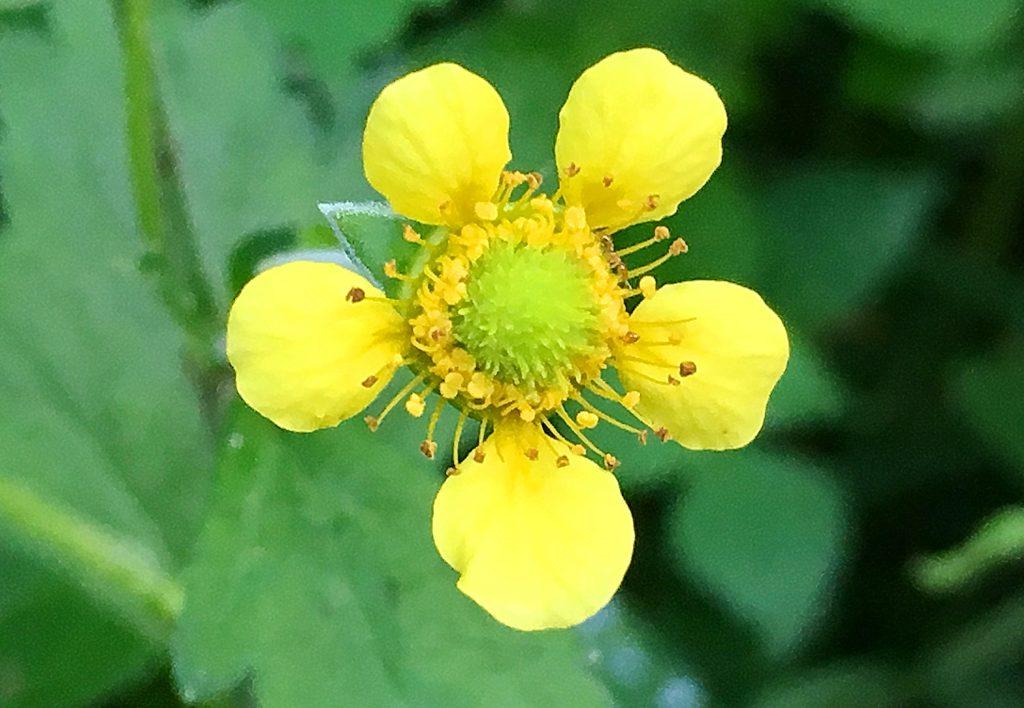 ダイコンソウの花
