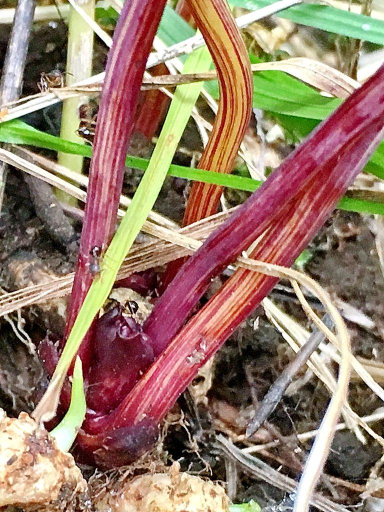 ナンバンギセルの花茎