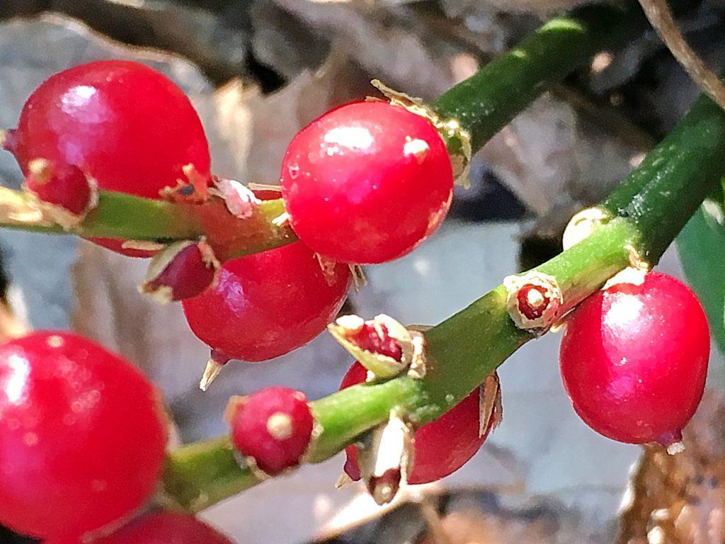 キチジョウソウの果実