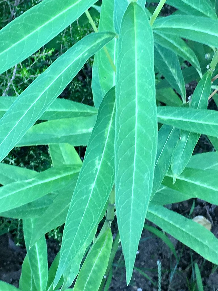 アスクレオイアスの葉