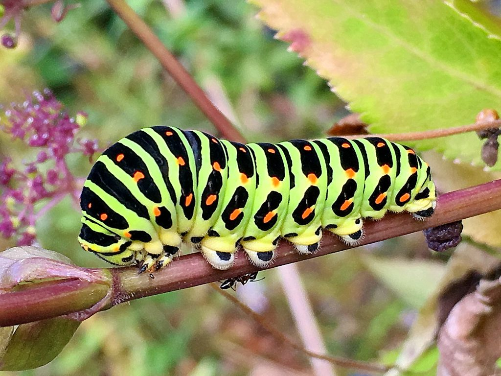 キアゲハの終齢幼虫