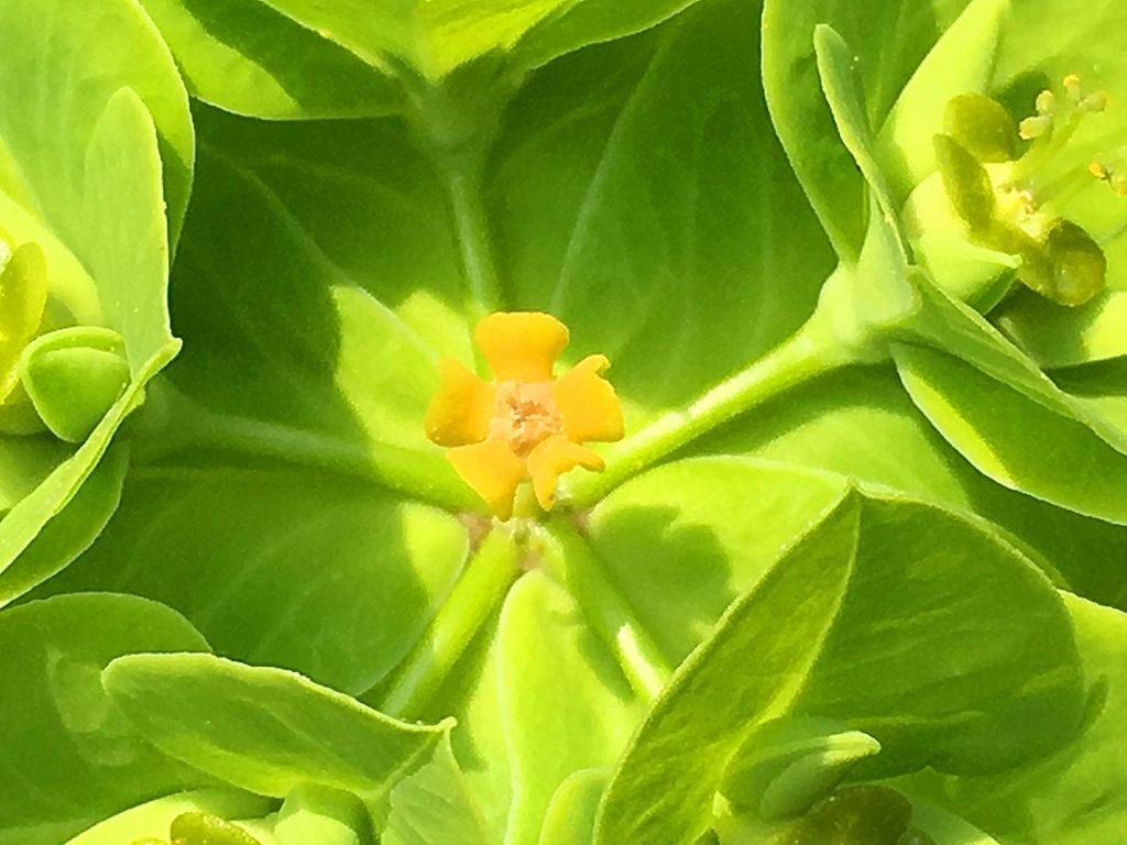 タカトウダイの花