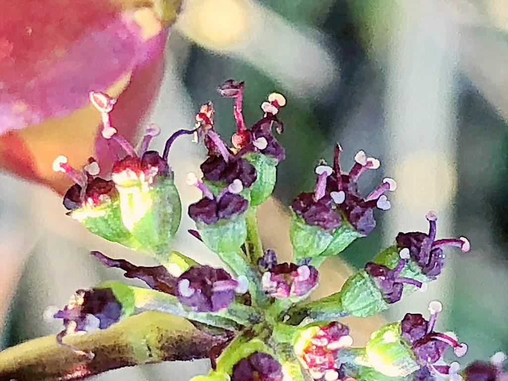 ノダケの雌性期の花