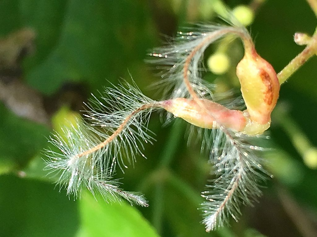 センニンソウの果実