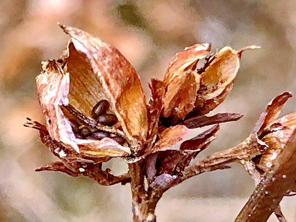 ミズオトギリの種子