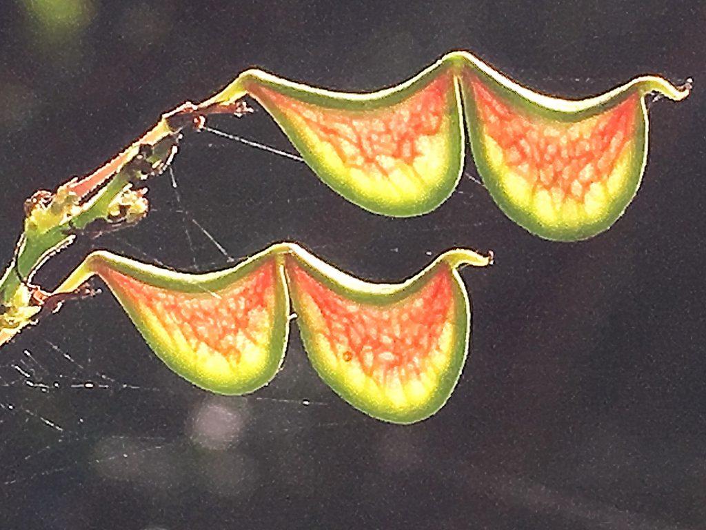 ヌスビトハギの果実