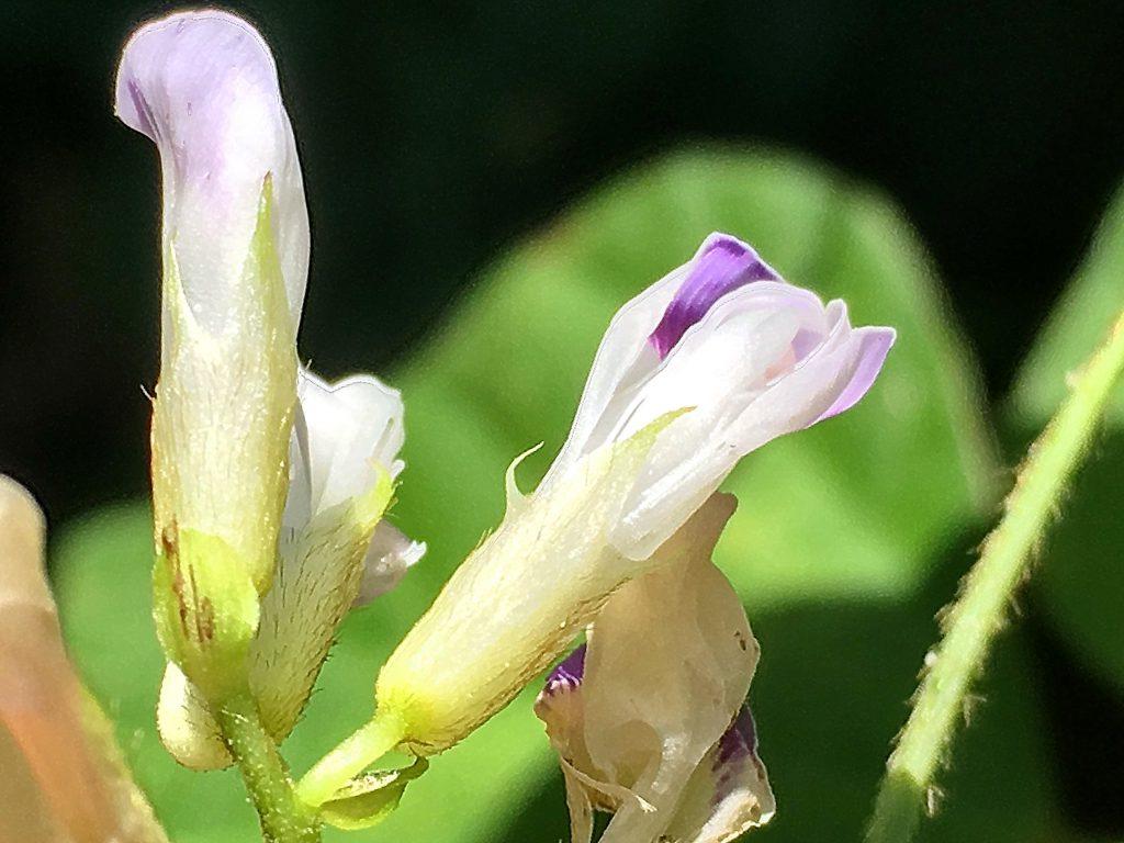 ヤブマメの花