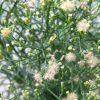 キク科の植物~ヒメムカシヨモギとオオアレチノギク