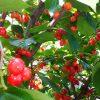 サクランボの収穫と鳥対策と害虫